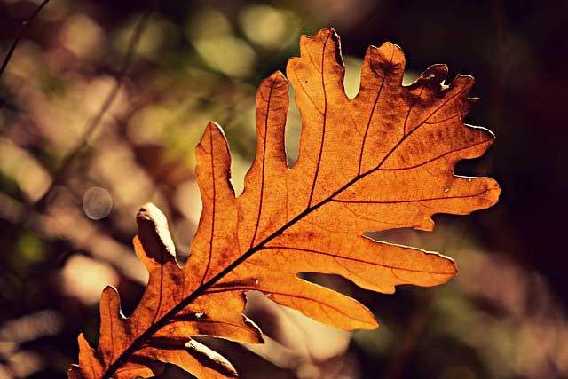 どんぐりの葉