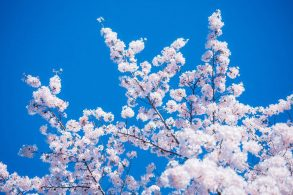 青空に淡いピンクの桜が映える