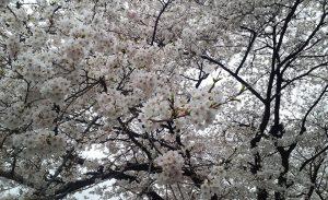 曇り空と満開の桜