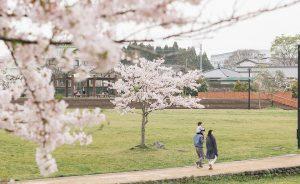 公園の桜並木の下を散歩する家族