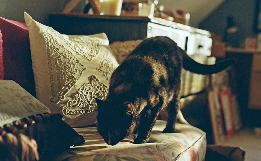 ソファのにおいを嗅ぐ猫