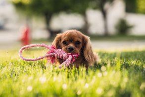 芝生の上の子犬