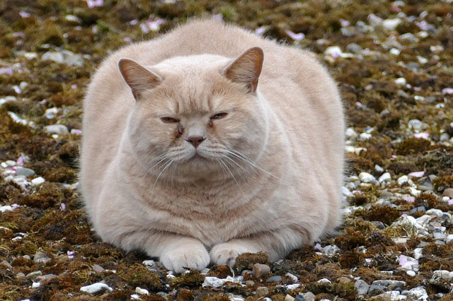 太すぎる猫