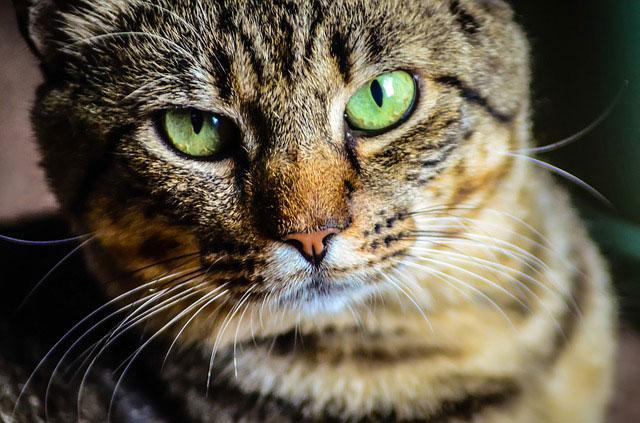 目力の強い猫