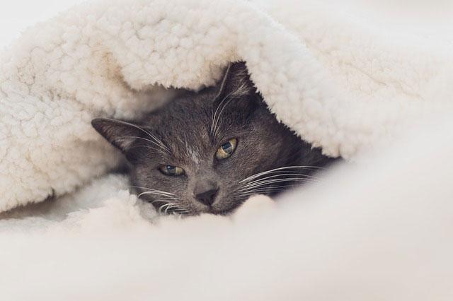 布団にくるまれて眠そうな猫