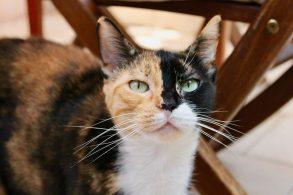 緑の目の三毛猫