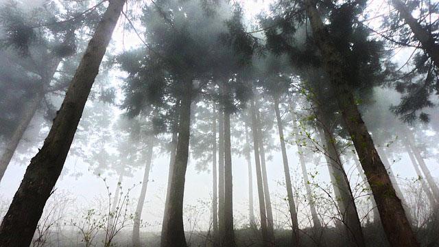 杉林と朝もや