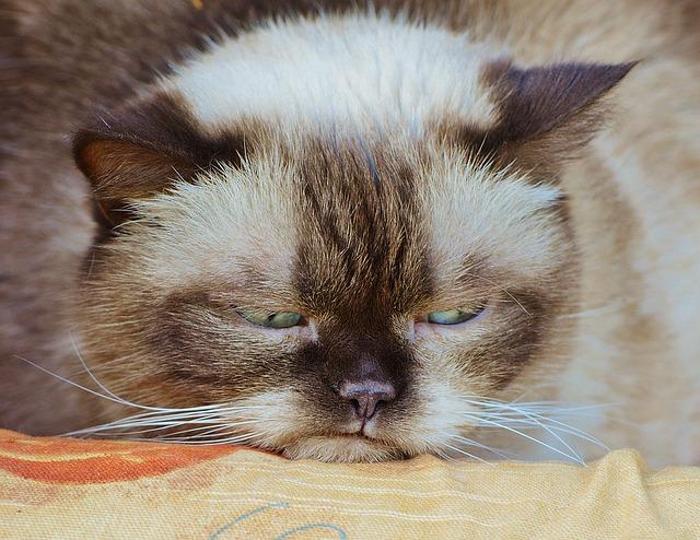 不機嫌で怠そうな猫